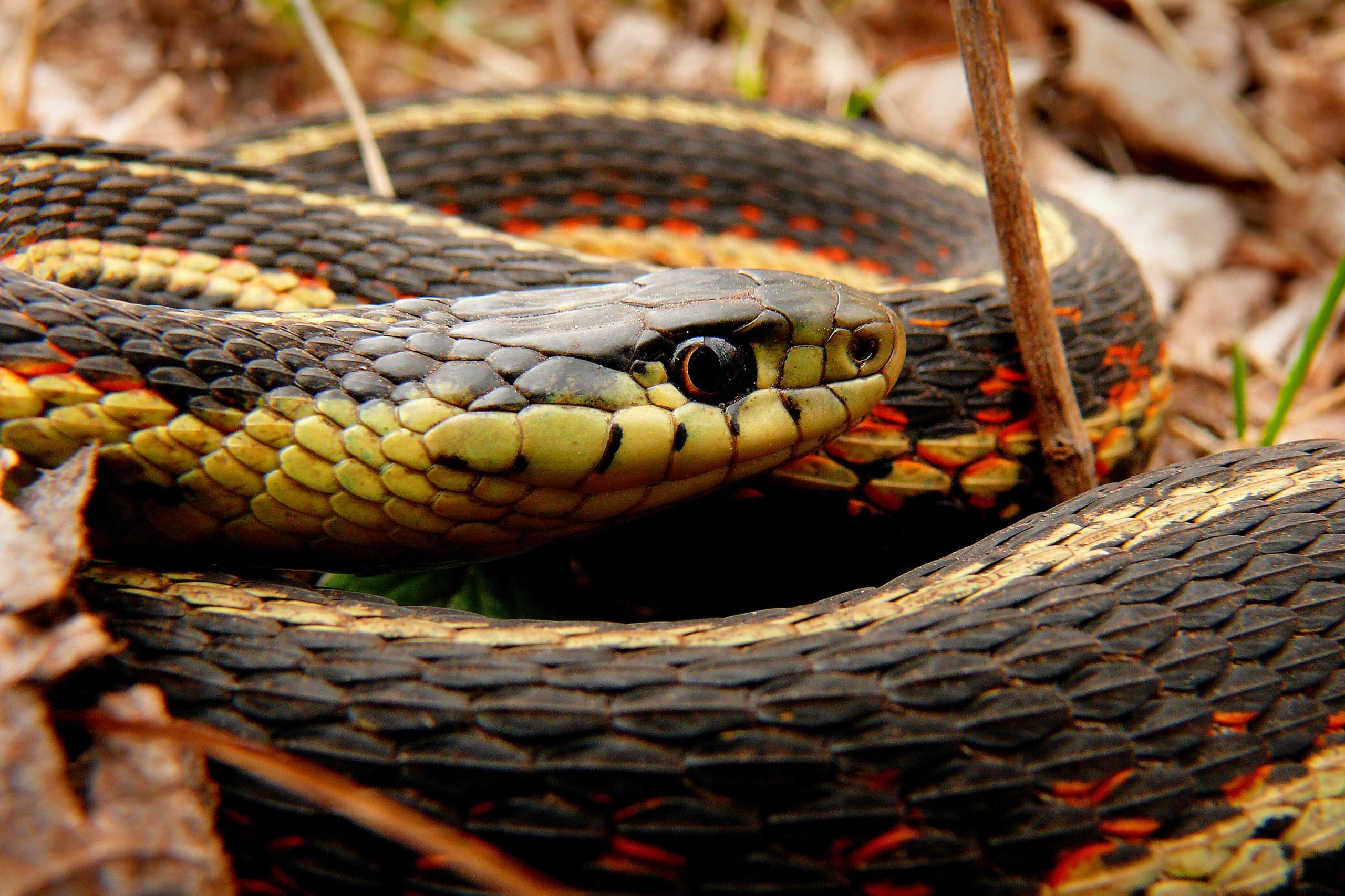 A red-sided garter snake coiled up.