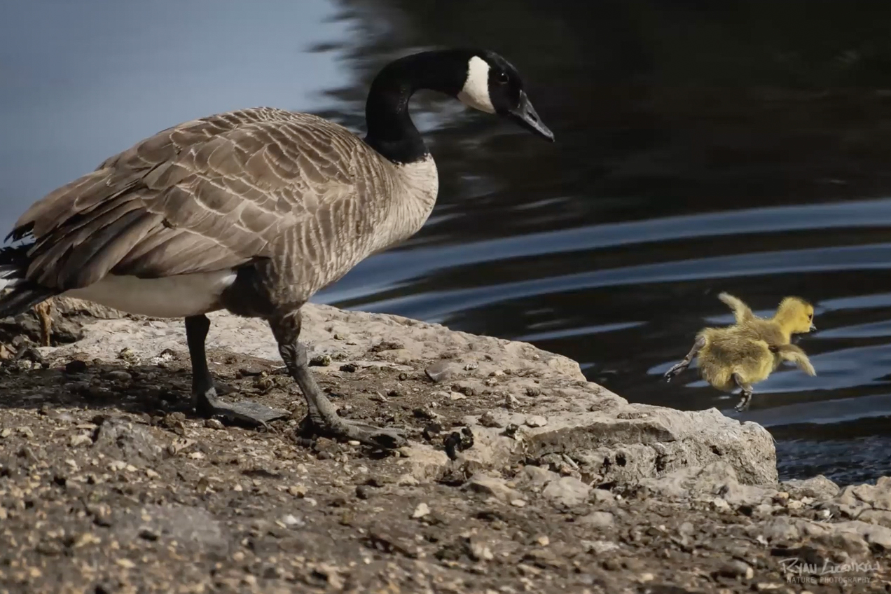 A gosling goes swimming as the parent watches.
